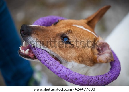 Little Jack Russell puppy playing with toy outdoors. Cute small domestic dog, good friend for a family and kids. Friendly and playful canine breed #424497688
