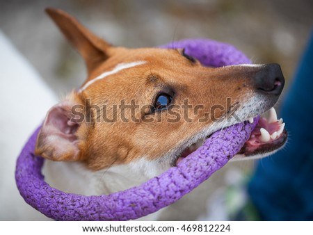 Little Jack Russell puppy playing with toy outdoors. Cute small domestic dog, good friend for a family and kids. Friendly and playful canine breed #469812224