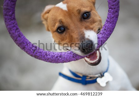 Little Jack Russell puppy playing with toy outdoors. Cute small domestic dog, good friend for a family and kids. Friendly and playful canine breed #469812239
