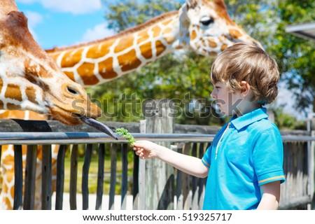 Little kid boy watching and feeding giraffe in zoo. Happy child having fun with animals safari park on warm summer day.