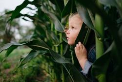 Little kid in denim jacket hiding in corn field peeking out from stalks looking up at the sky.