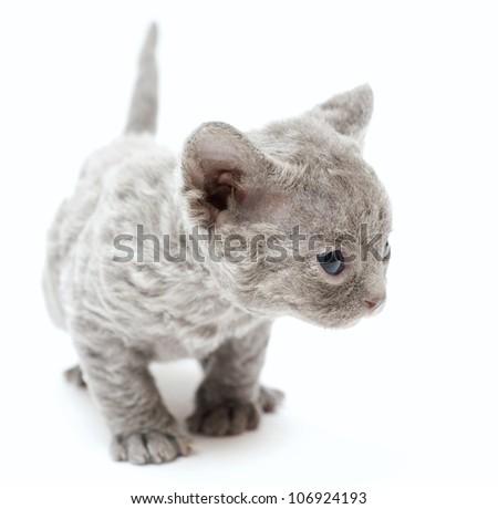 Little kitten Devon Rex