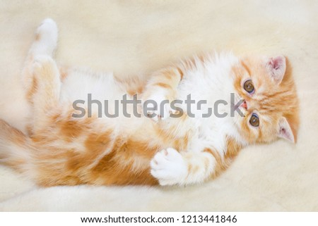 Little kitten exotic breed color red marble lying on the couch     #1213441846