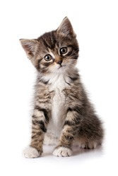 Little kitten isolated on white background. Tabby cat baby