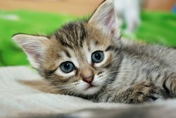 Little kitten lying on the bed and looking at the camera