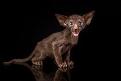 Little kitten of oriental cat breed of solid chocolate brown color with blue eyes is sitting against black background and meowing