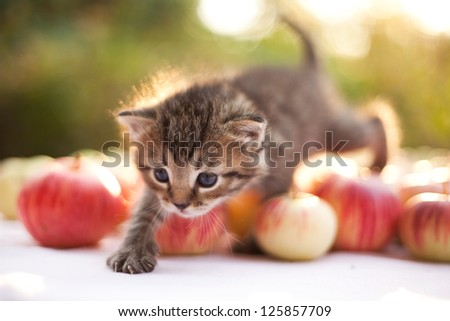 little kitten on the autumn apple background
