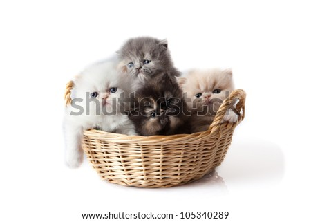 little kitten on white background. persian kitten