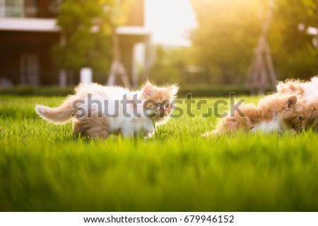 Little Kitten Persian Cats Walking and Play in green grass dueling sunlight. - Shutterstock ID 679946152