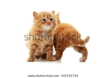 little kitten playing isolated on a white background