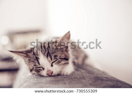 Little kitten sleeps on a coverlet. Small cat sleeps sweetly as a small bed. Sleeping cat in home on a blur light background. Cats rest after eating. #730555309