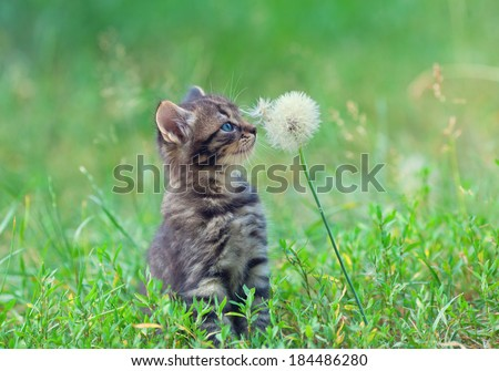 Little kitten sniffing dandelion