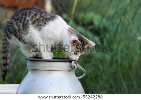 little Kitten tries to open milk pot - stock photo