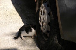 Little Kitten under the Car. Hot Car Engine in Cold Weather may be Dangerous for Cats.
