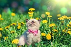 little kitten wearing bow tie in the dandelion flowers