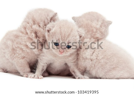 little kitty of soft peach color attentively looking down and on the background two others turned their backs. Focus sets on muzzle of a cat.