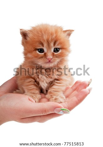 little kitty on the palms of the girl isolated on a white background
