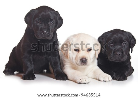 Little Labrador puppy on white background