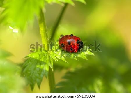 Little ladybird on green leaf. Close-up scene.