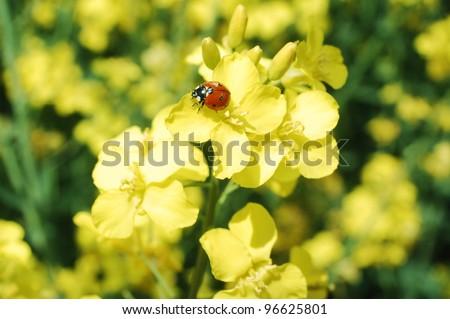 Little ladybug on a rapeseed flower in springtime.