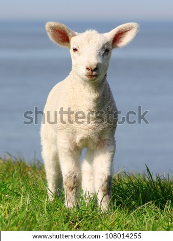 little lamb in north germany