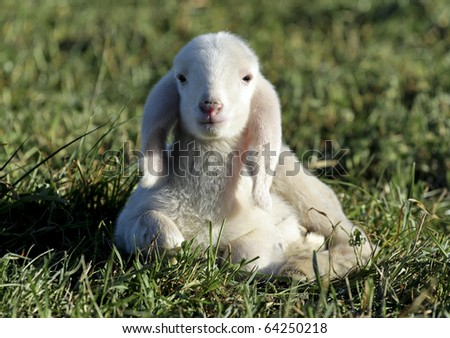 Little lamb in the grass - stock photo