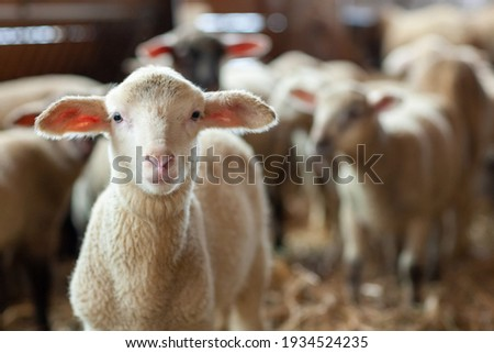 little lamb looks out of the flock of sheep in the stable Foto stock ©