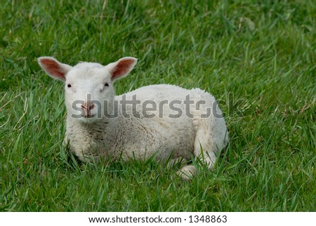 Little lamb on the Hallig Hooge in germany, europe.