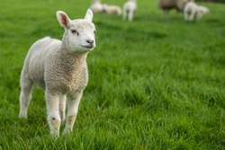 Little lamb standing alone with its family in the background