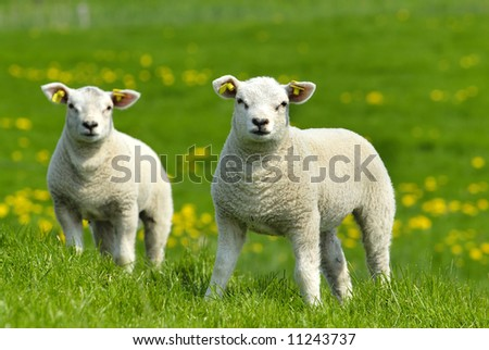 Little lambs - stock photo