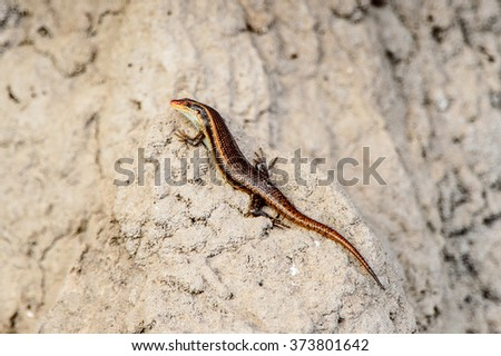 Little lizard on the stone at the Moremi Game Reserve (Okavango River Delta), National Park, Botswana #373801642