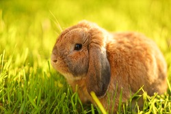 Little lop-eared rabbit sits on the lawn. Dwarf rabbit breed ram at sunset sun. Summer warm day.