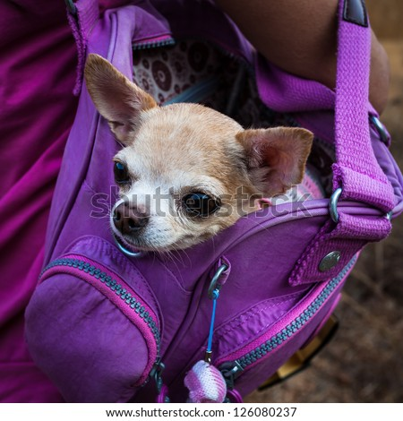 Little lovely dog in the  purple bag of traveller