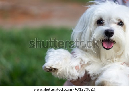 Little Maltese puppy dog smiling