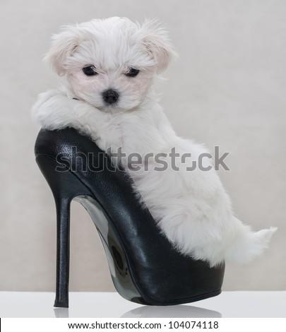 Little maltese puppy in the women's shoe