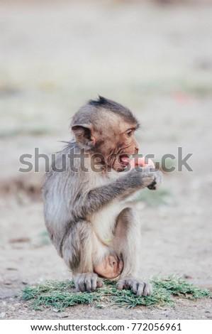 Little monkey , Monkey , monkey , hungry monkey #772056961