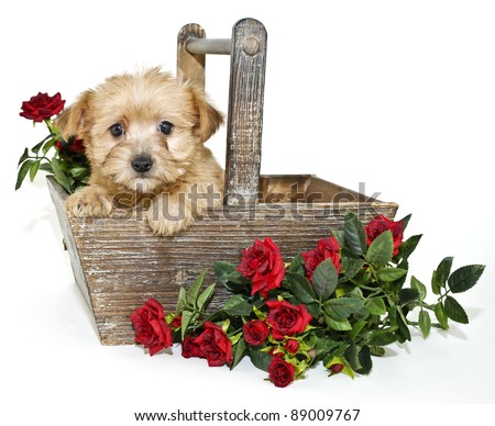 Little Morkie puppy siting in a basket with red roses on a white background.