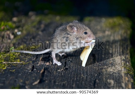 Little mouse with a slice of cheese on boards - stock photo