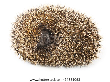 Little needle hedgehog roll oneself up into a ball on white background