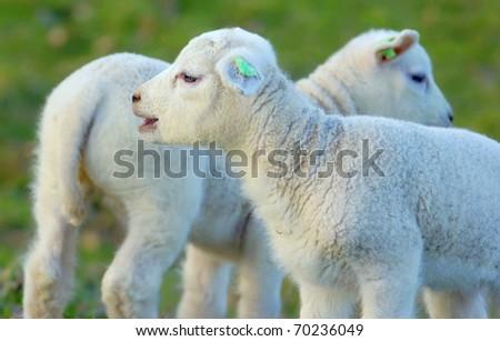little newborn lamb in springtime