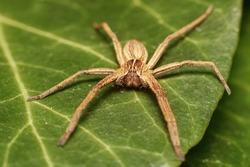 little Nursery web spider Pisaura mirabilis