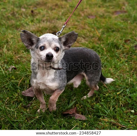Little old blind gray dog on leash on background of green grass