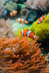 Little orange clown fish on a background of large corals. Clown fish swim between colored corals in an aquarium with salt water.