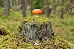 Little orange mushroom standing alone on a tree stump