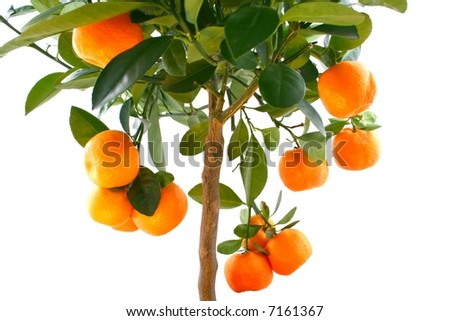 Little oranges tree