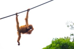 Little orangutan on the rope