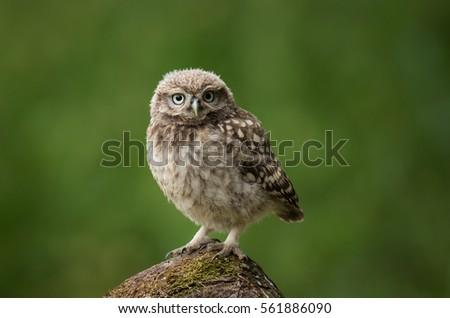 Stock Photo Little Owl