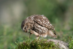 Little Owl. Adult owl eating earthworm.