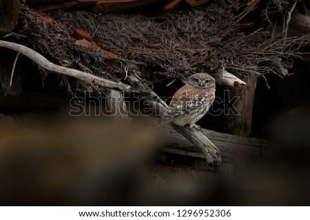 Little Owl, Athene noctua, bird in old roof tile. Urban wildlife with bird with yellow eyes, Bulgaria. Wildlife scene from nature. Animal behavior in urban habitat, hidden owl.