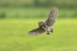 Little owl, Athene noctua, bird of prey in flight with spread wings while hunting above farmland. Taken just before landing.